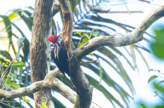 Pale-billed Woodpecker by Richard Kostecke - La Paz Group