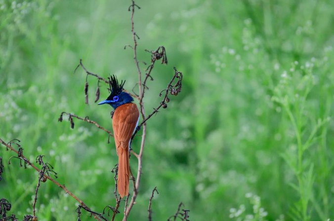 Paradise Flycatcher by Chetan Krishnamurthy - La Paz Group