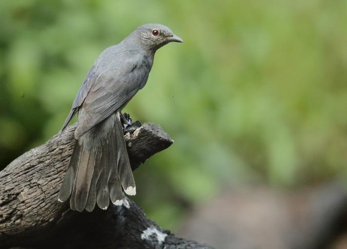 Black-winged Cuckooshrike by Gururaj Moorching - La Paz Group