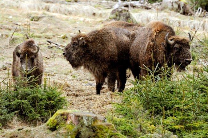 21xp-bison-master768