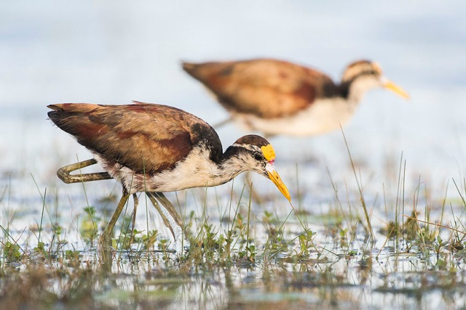 Northern Jacana by Leander Khil - La Paz Group