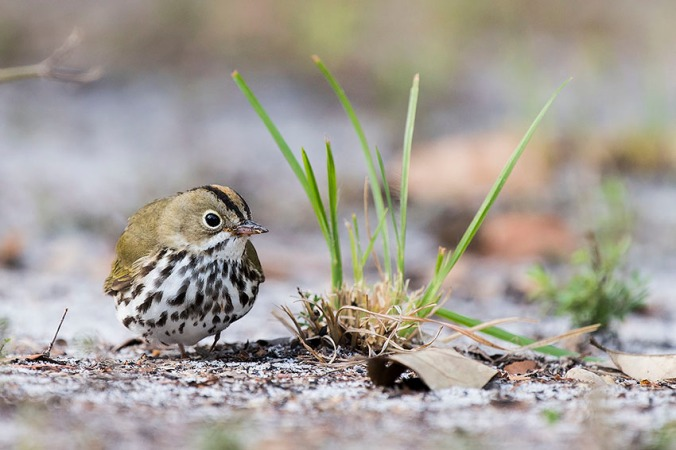 Ovenbird by Leander Khil - La Paz Group