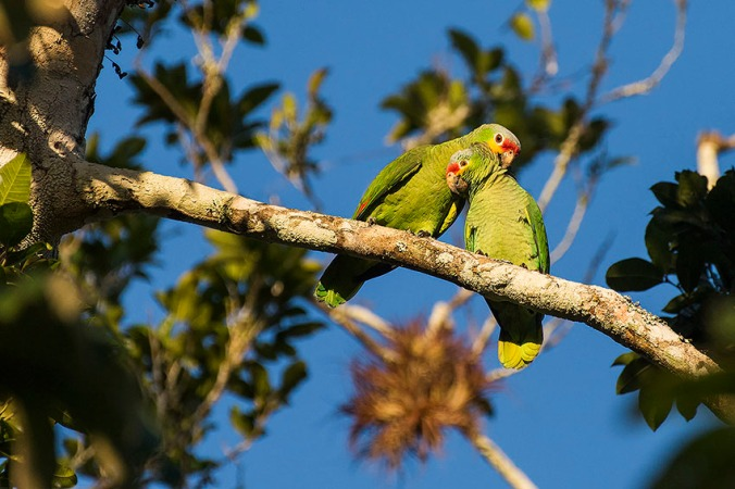 Red-lored Parrot by Leander Khil - La Paz Group