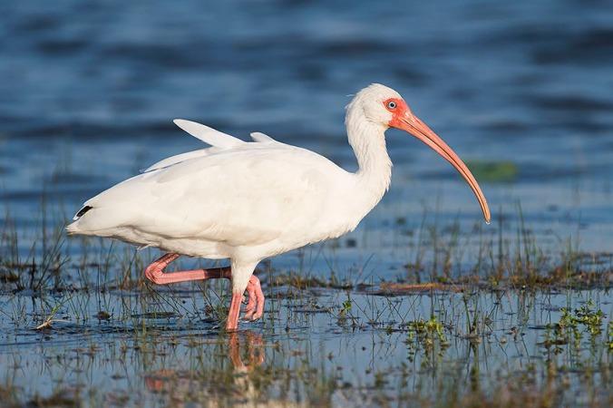 White Ibis by Leander Khil - La Paz Group