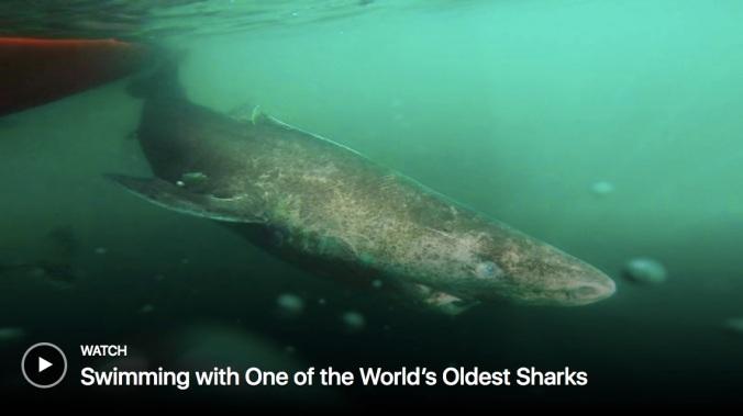 Greenland Shark.jpg