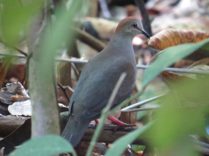 Gray-headed Dove by Seth Inman - La Paz Group