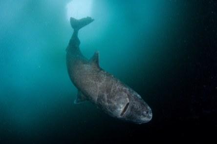 OConnor-Strange-Gruesome-Story-Greenland-Shark