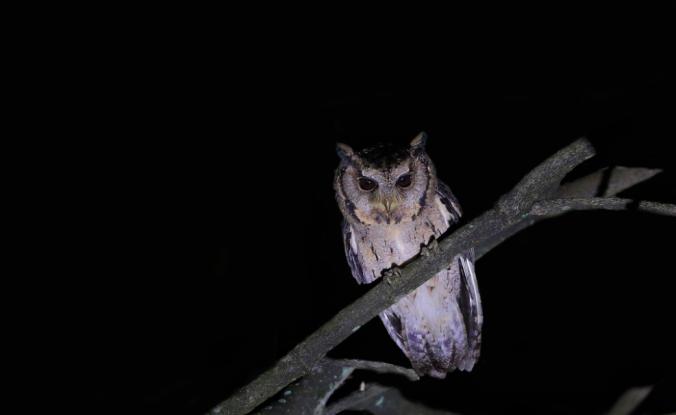Collared Scops Owl by Gururaj Moorching - La Paz Group