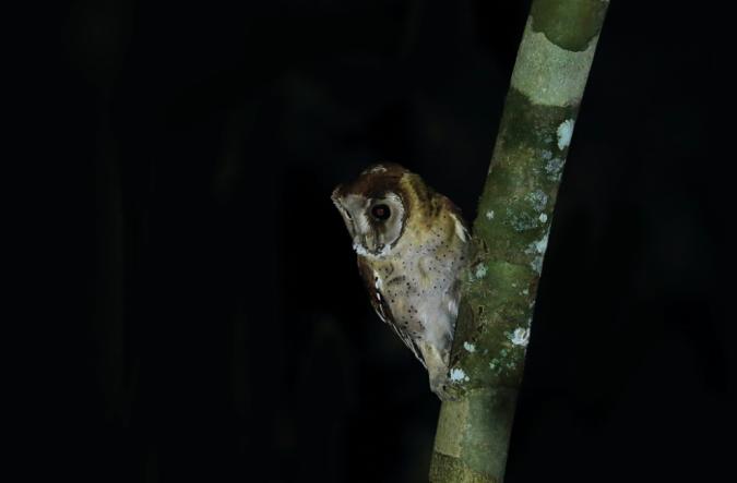 Oriental Bay Owl by Gururaj Moorching - La Paz Group