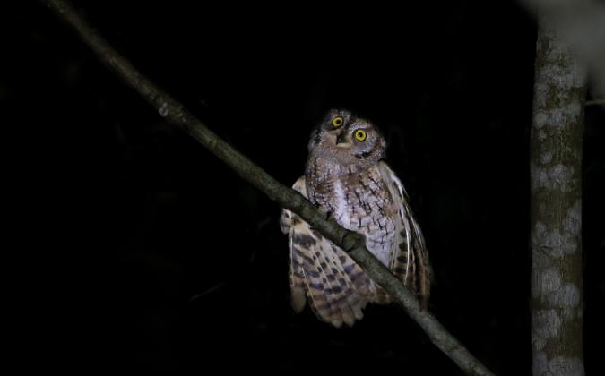 Oriental Scops Owl by Gururaj Moorching - La Paz Group