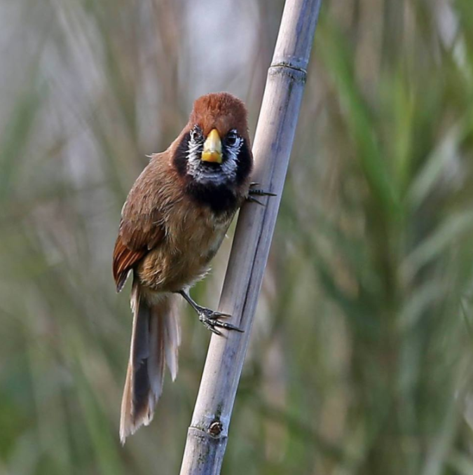 Black-breasted Parrotbill by Gururaj Moorching - La Paz Group