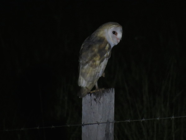 Barn Owl - Seth Inman. La Paz Group
