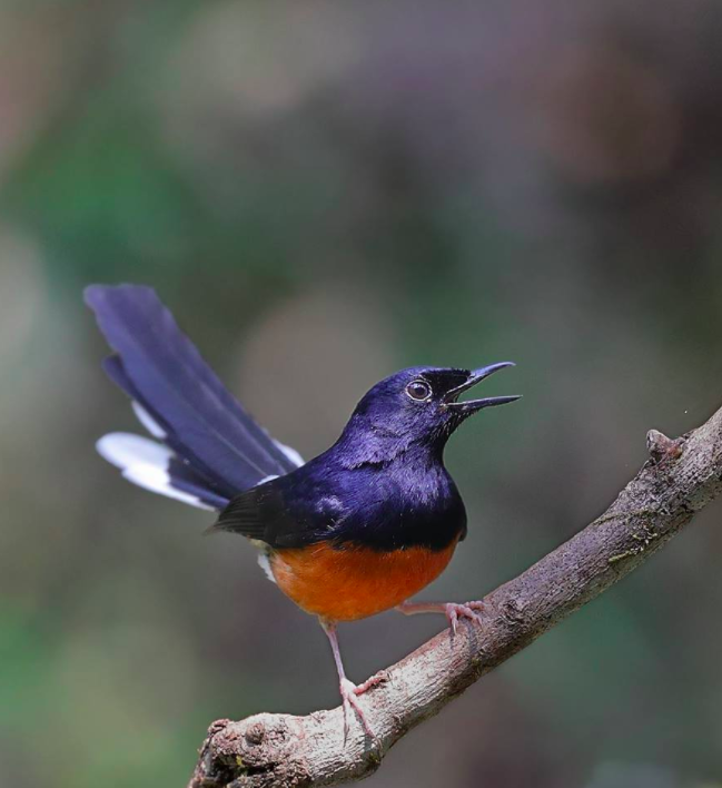 White-rumped Shama by Gururaj Moorching - La Paz Group