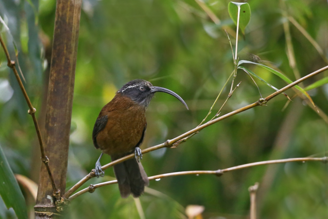 Slender-billed Scimitar-Babbler by Gururaj Moorching - La Paz Group