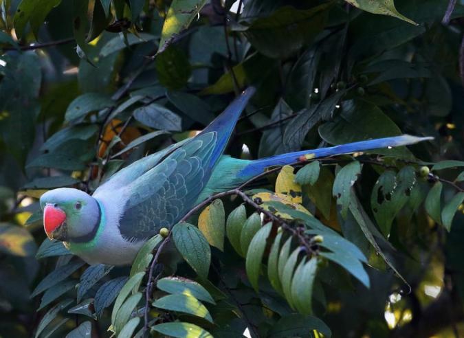 Malabar Parakeet by Gururaj Moorching - La Paz Group