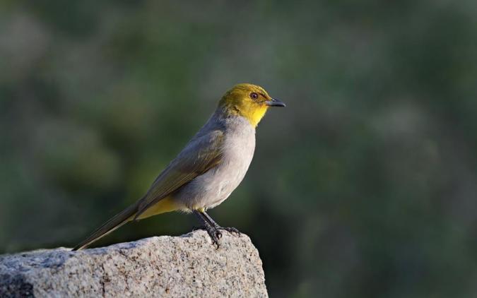 Yellow-throated Bulbul by Gururaj Moorching - La Paz Group