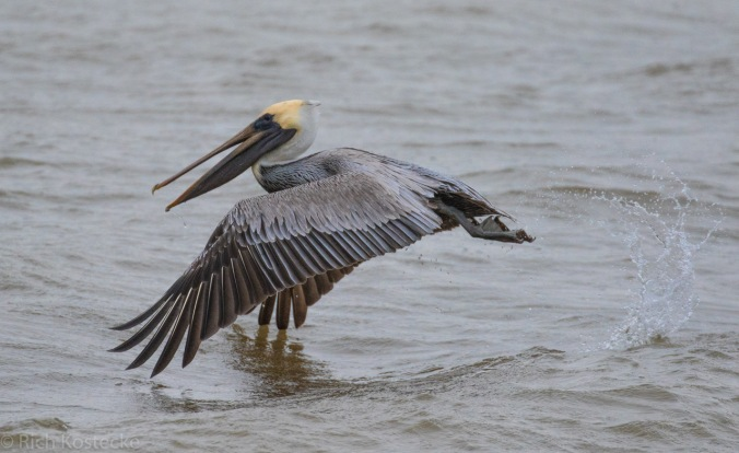 Brown Pelican by Richard Kostecke - La Paz Group