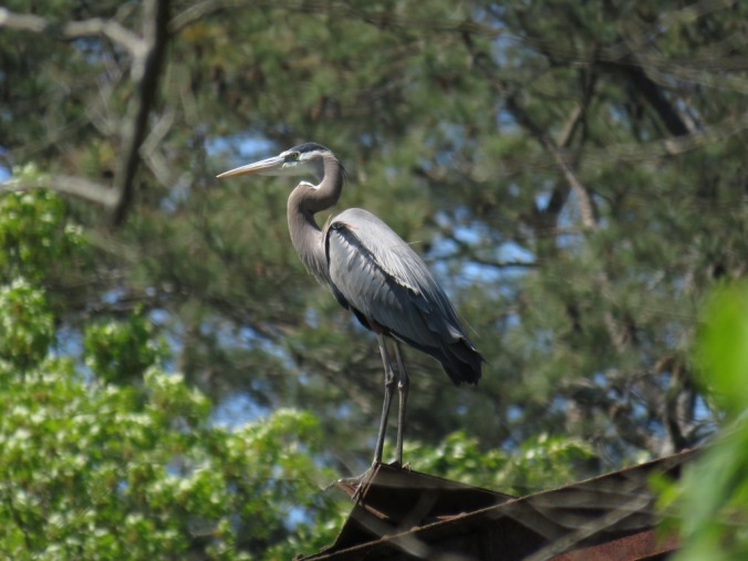 Great Blue Heron by Seth Inman - La Paz Group
