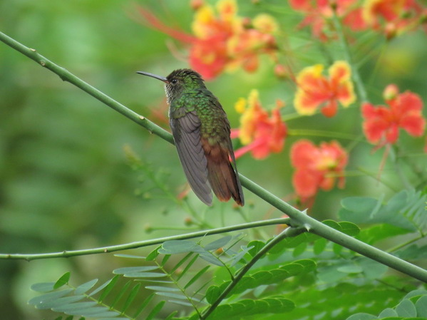 Rufous-tailed Hummingbird by Seth Inman - La Paz Group