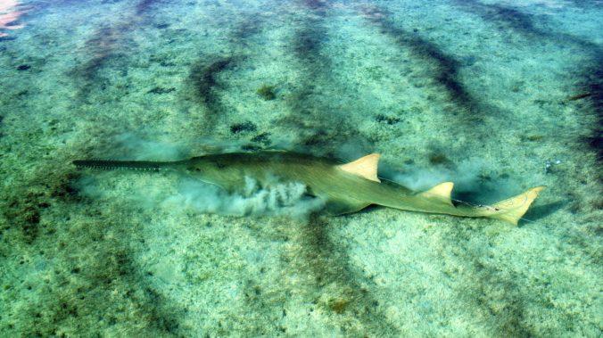 Sawfish-Grubbs2-1260x708