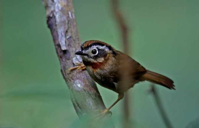 Rufous-throated Fulvetta by Gururaj Moorching - La Paz Group