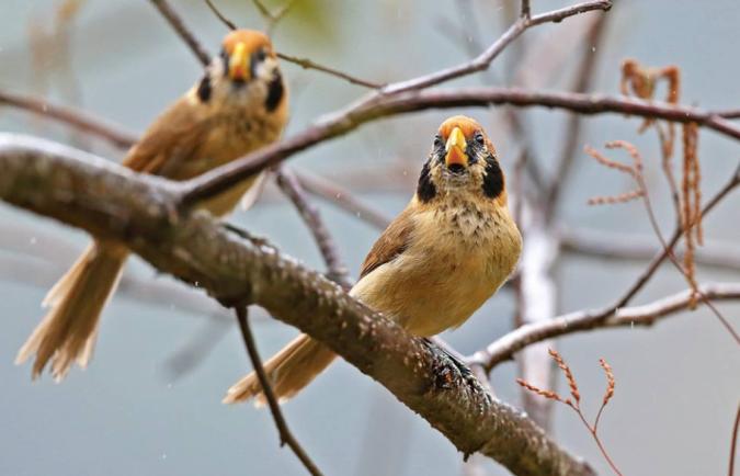 Spot-breasted Parrotbill by Gururaj Moorching - La Paz Group
