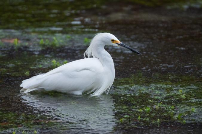 Snowy Egret by Richard Kostecke - La Paz Group
