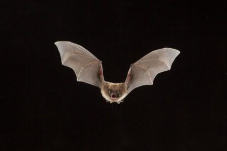 Sullivan-A-Fatal-Disease-Ravaging-Americas-Bats