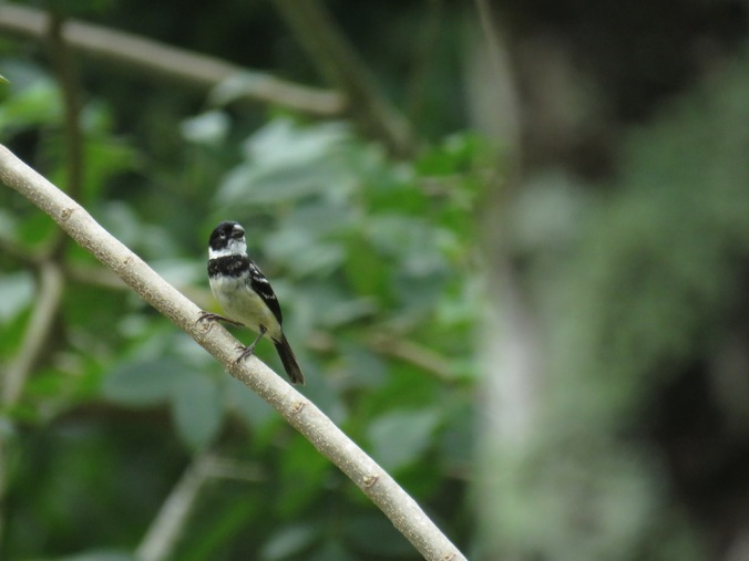 White-collared Seedeater - La Paz Group