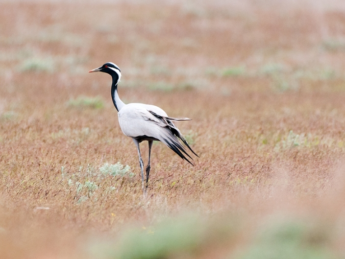 Demoiselle Crane by Leander Khil - La Paz Group