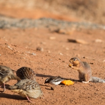 Francolins, sparrow-weaver and ground squirrel