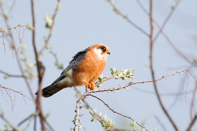 Red-footed Falcon by Leander Khil