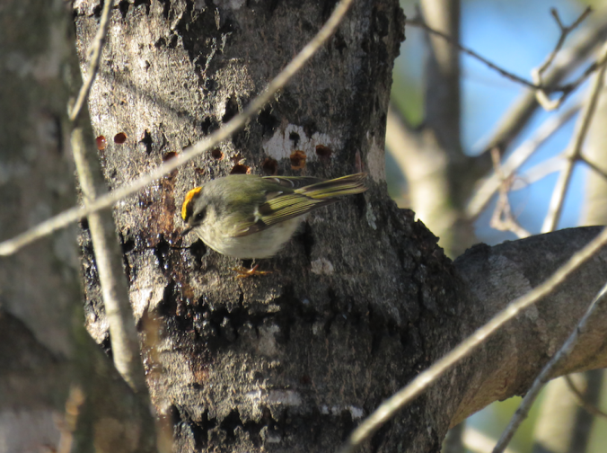 Golden-crowned Kinglet by Seth Inman - La Paz Group