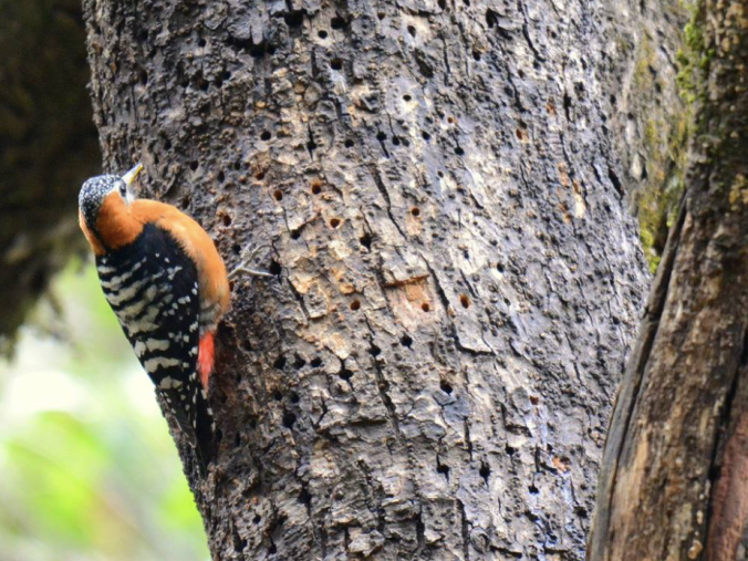 Rufous-bellied Woodpecker by Puneet Dhar - La Paz Group