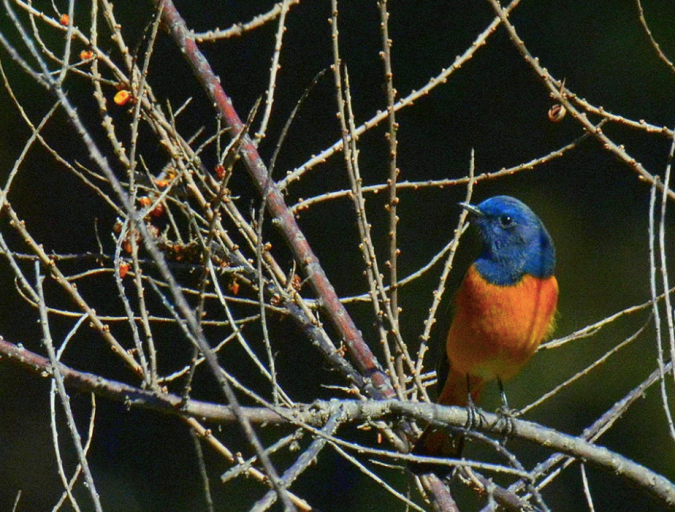 Blue-fronted Redstart by Puneet Dhar - La Paz Group