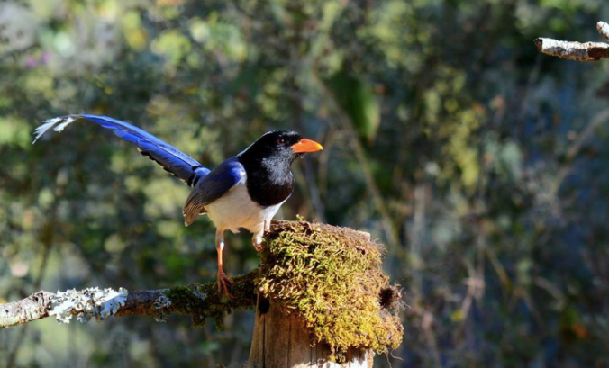 Red-billed Blue Magpie by Puneet Dhar - La Paz Group