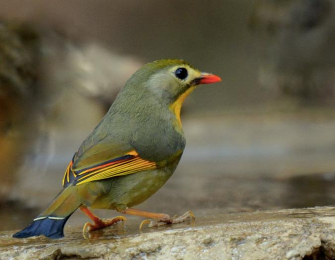 Red-billed Leiothrix by Puneet Dhar - La Paz Group