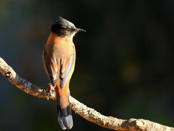 Rufous Sibia by Puneet Dhar - La Paz Group