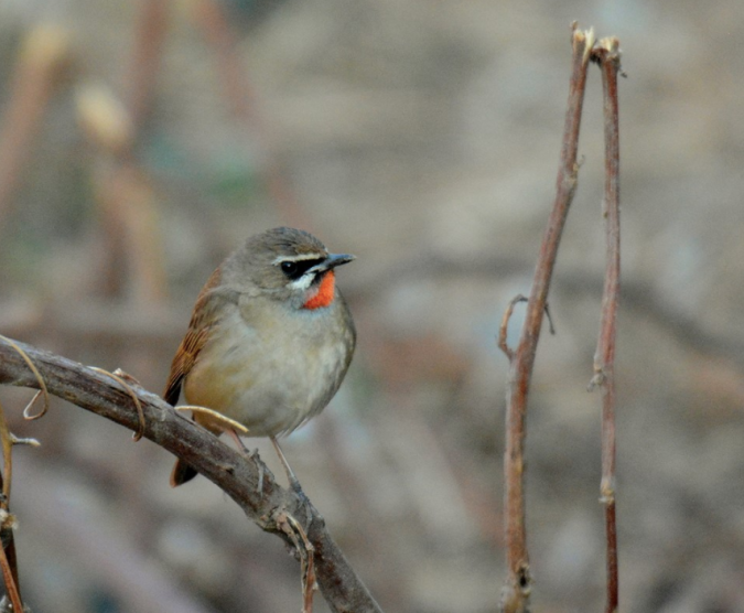 Siberian Rubythroat by Puneet Dhar - La Paz Group