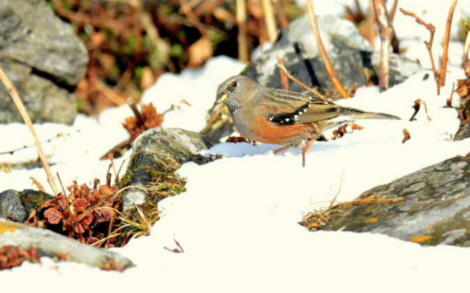 Alpine Accentor by Puneet Dhar - La Paz Group