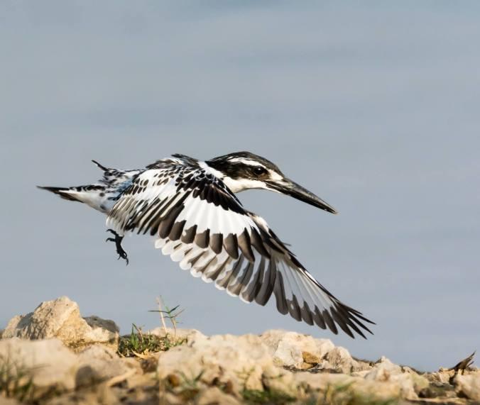 Pied Kingfisher by Ramesh Desai - La Paz Group