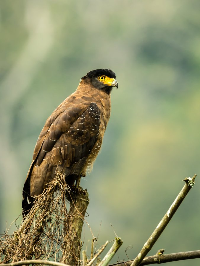 Crested Serpent Eagle by Ramesh Desai - La Paz Group
