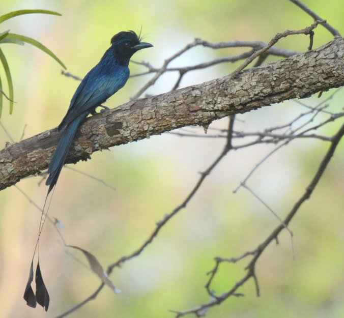 Lesser Racket-tailed Drongo by Puneet Dhar - La Paz Group