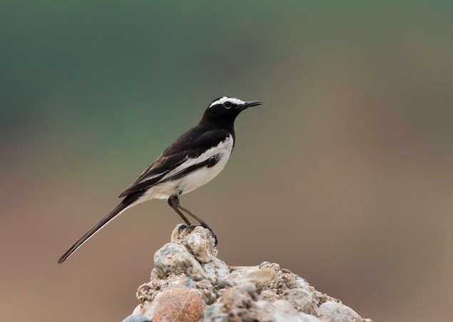 White-browed Wagtail by Ramesh Desai - La Paz Group