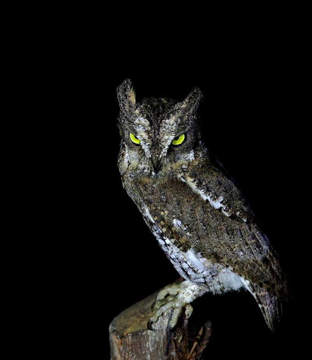 Nicobar Scops-owl by Gururaj Moorching - La Paz Group