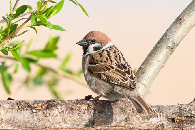 Tree-Sparrow by Leander Khil - La Paz Group