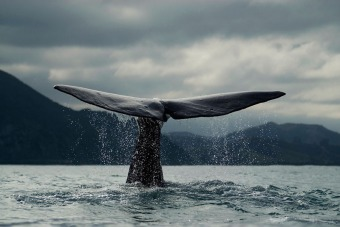 Blue whale, New Zealand