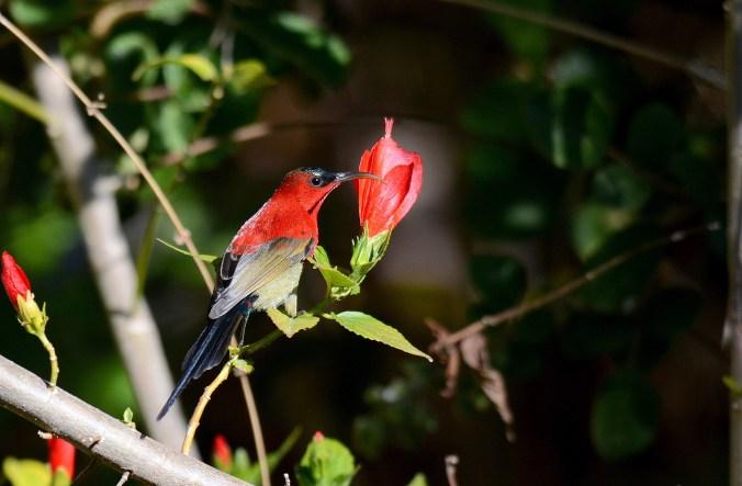 Crimson Sunbird by Puneet Dhar - La Paz Group