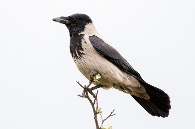 Hooded Crow by Leander Khil - La Paz Group