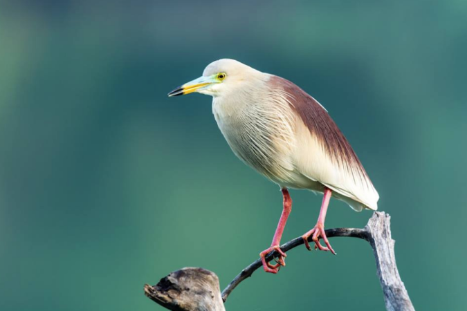 Indian Pond Heron by Ramesh Desai - La Paz Group